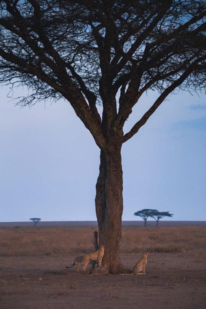 Group of cheetahs around a tree in the Serengeti.