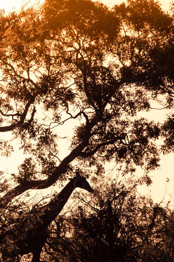 Giraffe blending in with treesOkavango Delta, Botswana